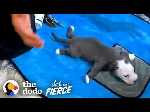 Teeny Swimmer's Syndrome Puppy Who Was Flat As A Pancake Learns To Run