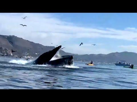 Whale Almost Swallows A Kayaker. Your Daily Dose Of Internet Video.