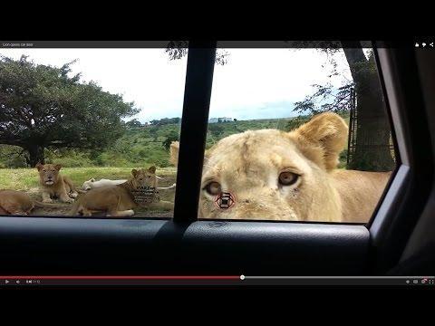 Lion Opens Family's Car Door...