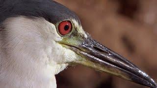 Smart Heron Used Bread To Fish | Super Smart Animals | BBC Earth