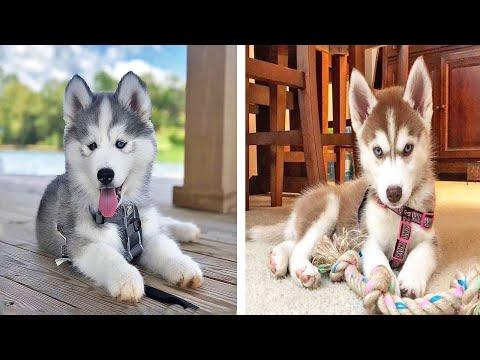 Funny And SOO Cute Husky Puppies Compilation #21 - Cutest Husky Puppy #Video