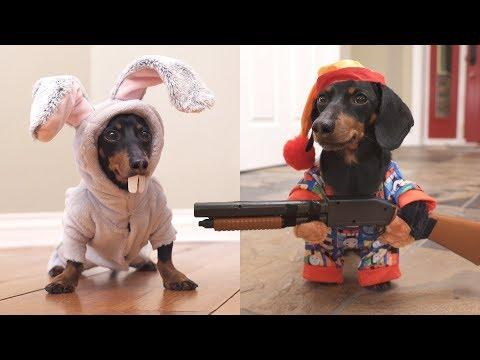Easter Bunny Wakes Up Grumpy Wiener Dog! Crusoe the Celebrity Dachshund