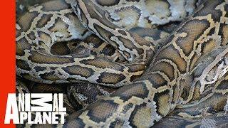 Python Puts Dog In Unbreakable Hold | Weird, True & Freaky