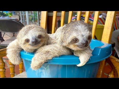 Rescued Baby Sloths Learn To Climb