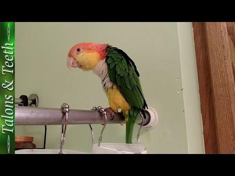 Oliver The Caique Singing In The Shower