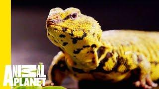 This Yellow Lizard is Called The Uromastyx | Scaled
