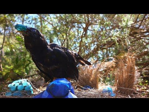Bowerbirds Pull Off a Jewel Heist | Spy In The Wild | BBC Earth
