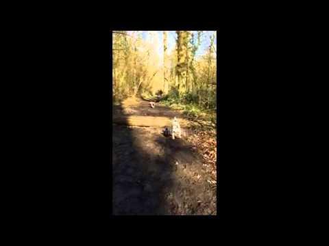 Pug Fails At Log Jump Attempt