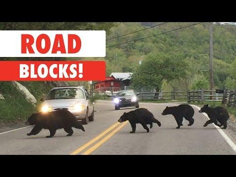 Animals Causing Road Blocks Compilation