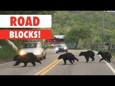 Animals Causing Road Blocks Compilation