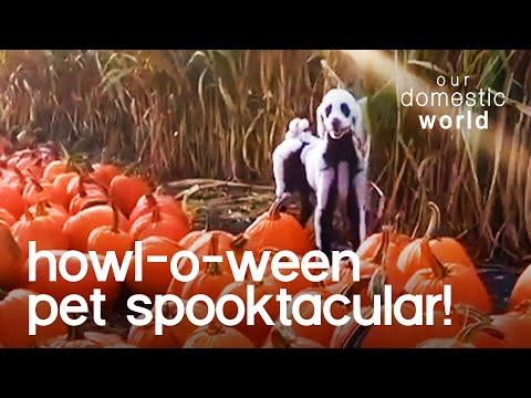 Howl-O-Ween Pet Spooktacular Video   Our Domestic World