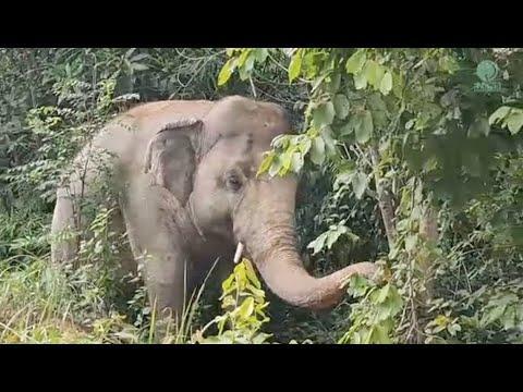 Kaavan's New Journey Began - ElephantNews #Video