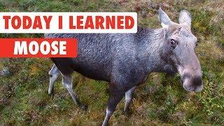 Today I Learned: Moose