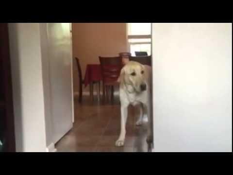 Golden Retriever Conquers Fear Of Stepping Onto Carpet