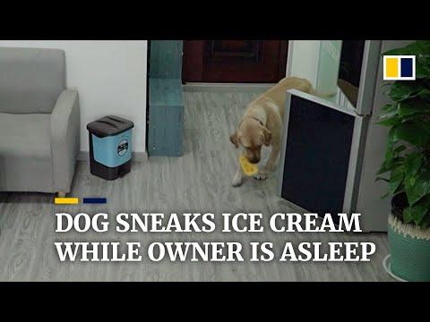 Dog in China sneaks ice cream while owner is asleep video
