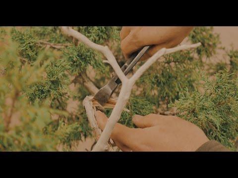 The Art Of Shaping A Bonsai Tree