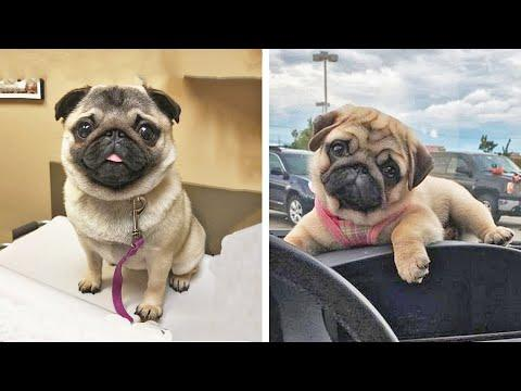AWW SOO Cute and Funny Pug Puppies - Funniest Pug Ever #25 #Video
