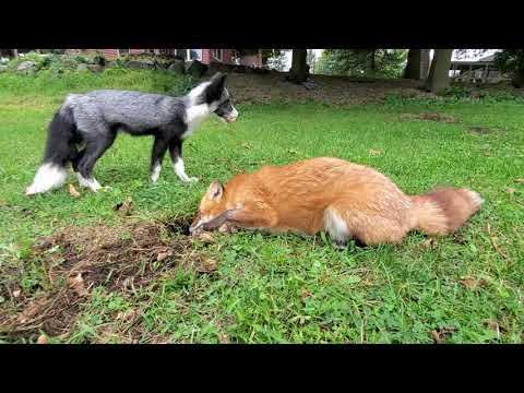 Fox play time video - SaveAFox