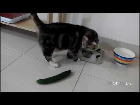 Cats Hate Cucumbers
