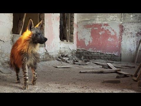 This Ghost Town Is Home To Africa's Rarest Predator | BBC Earth