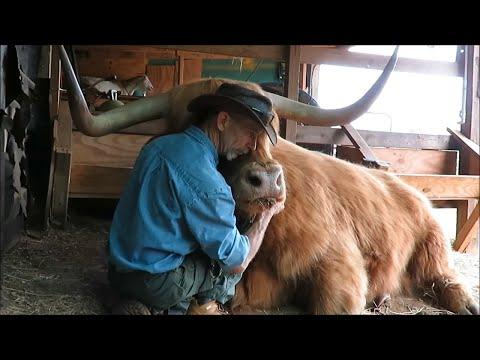 Gentle giant is BEST FRIENDS with friendly cowboy #Video