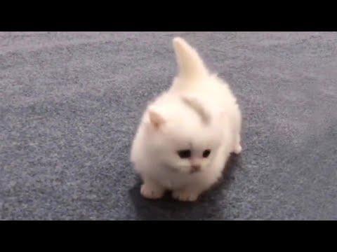 Walking Cotton Ball Kitty Video