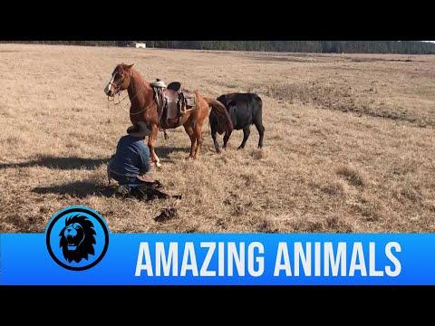 Horse Protects Rancher From Cows As He Tags Calves Video