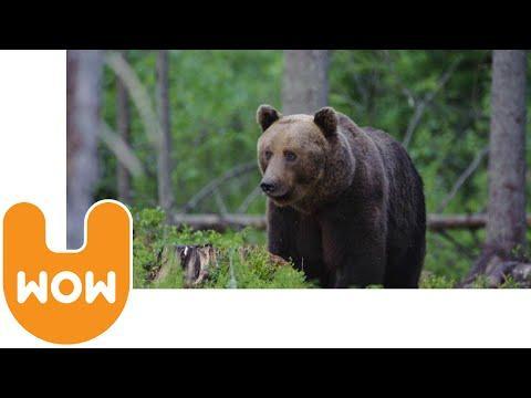 Watch Wild Brown Bears In Estonia