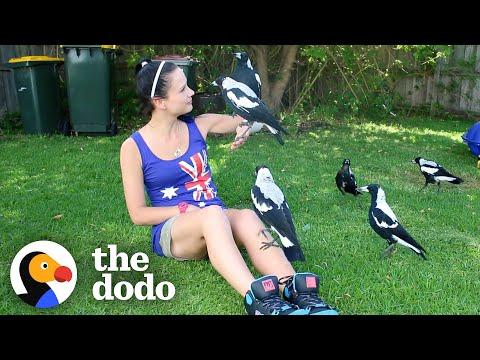 Woman Gives Toys to a Wild Magpie — and He Invites His Friends Over to Play #Video