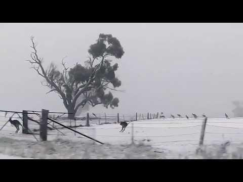 Troop of Kangaroos Frolic in the Curraweela Snow