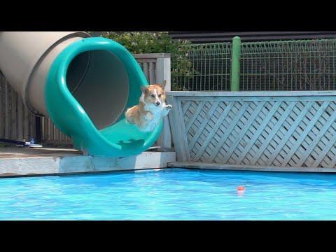 Corgis summer get away at the pool