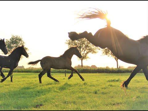I let the Friesian horses trot and gallop and made some beautiful and funny pictures.