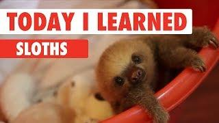 Today I Learned: Sloths