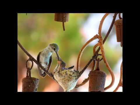 Hummingbirds | Building Nest To Laying Eggs To Babies Fledgling