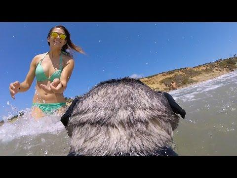 GoPro: Brandy The Surfing Pug