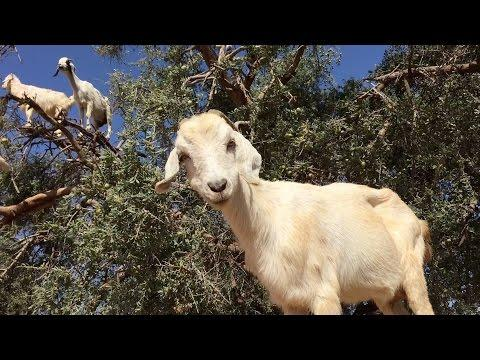Tree Goats (Original)