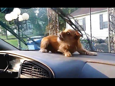 Dogs Vs. Windshield Wipers