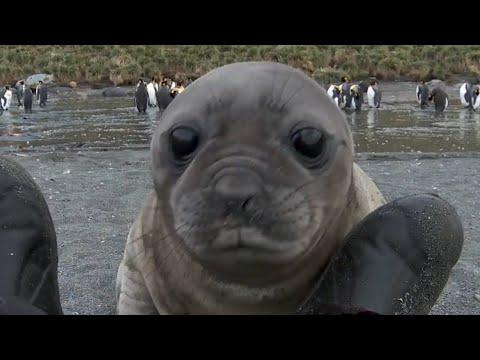 Elephant Seal Rolls Down Hill Video