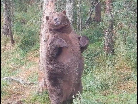 Giant fat bear at Brooks Falls #Video