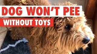 Dog Refuses To Go Outside Without a Toy