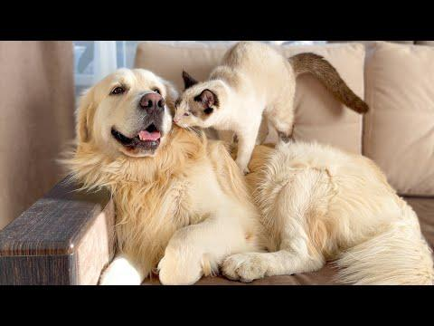 Kitten Trying to Earn Attention from Golden Retriever! #Video