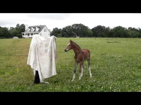 Young foals meet the tarp video