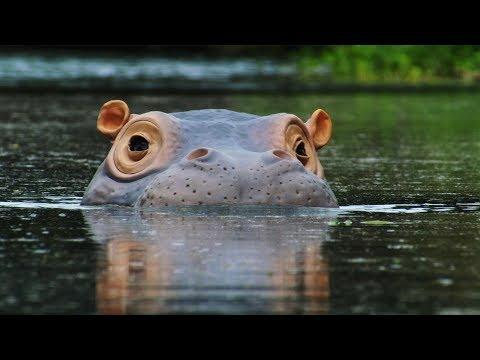 Spy Hippo discovers a Fish Spa! | Spy In The Wild | BBC Earth