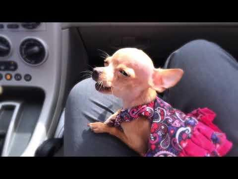 My teacup chihuahua singing her heart out video
