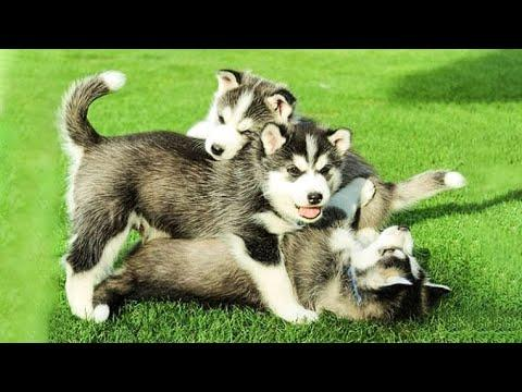 Funny And SOO Cute Husky Puppies Compilation #9 - Cutest Husky Puppy #Video