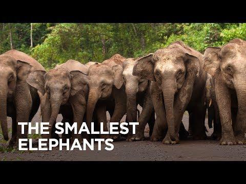 The World's Smallest Elephants