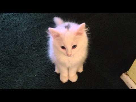 Blue-eyed white Norwegian Forest kitten having a conversation #Video