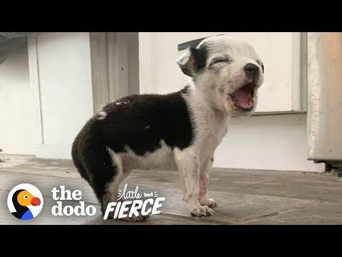 This Tiny Pittie Puppy Bites Ears for Attention | The Dodo Little But Fierce