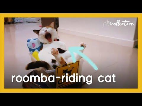 Roomba Riding Cat Video