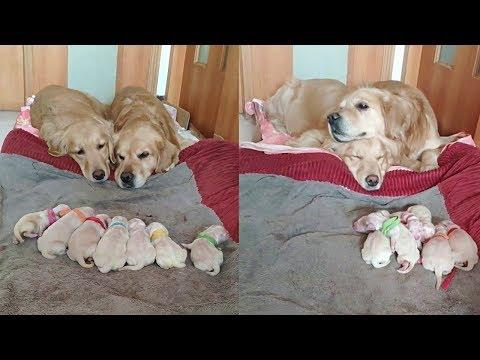 Golden Retriever Parents Watching Over Their Newborn Puppies. Video